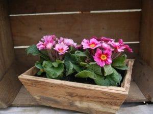 primroses-500035_1280